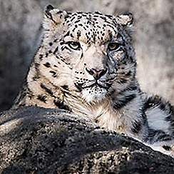 Activity Superstore - Snow Leopard Feed and Fossa Training gift experience for 2