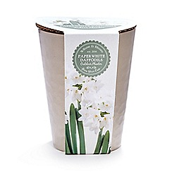 Wilson and Bloom - Paper white daffodils outdoor planter