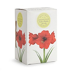 Wilson and Bloom - Amaryllis indoor planter