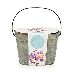 Wilson and Bloom - Miniature Sweet Pea Kit in a Plant Pot